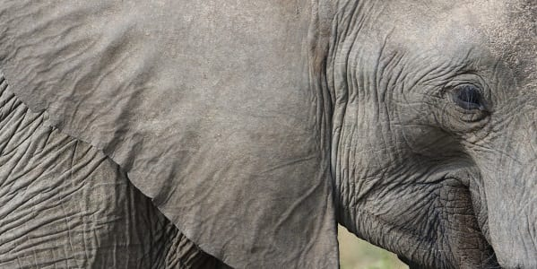 A close up of an African elephant's lare ear with the elephant's head in profile