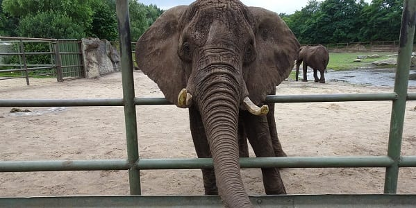 An African elephant poking its head through the bars of a fence at the edge of its enclosure