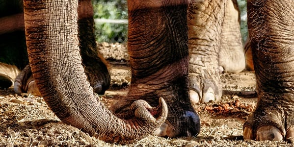 A close up of an Elephant's lower legs and trunk