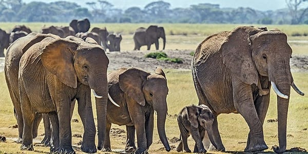 Family of four African Elephants walking in their natural habitat