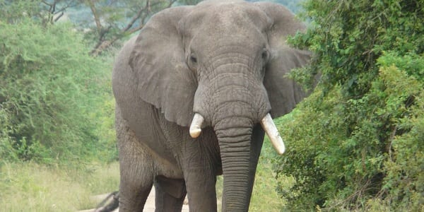 A large male African Elephant staring down the camera partially obscured by greenery
