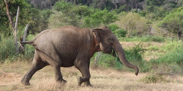 An Indian elephant caught on camera while running across an open plain