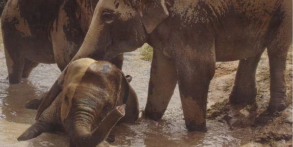 Two large Indian Elephants playing in the muddy water