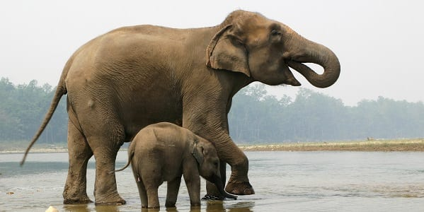 A full grown Indian elephant with a small elephant calf standing in the shallow water
