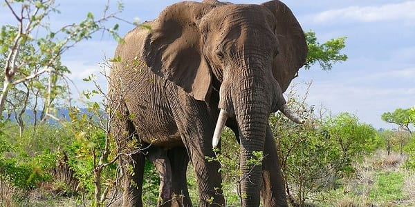Large male African elephant stood amongst bare greenery on the African savanna