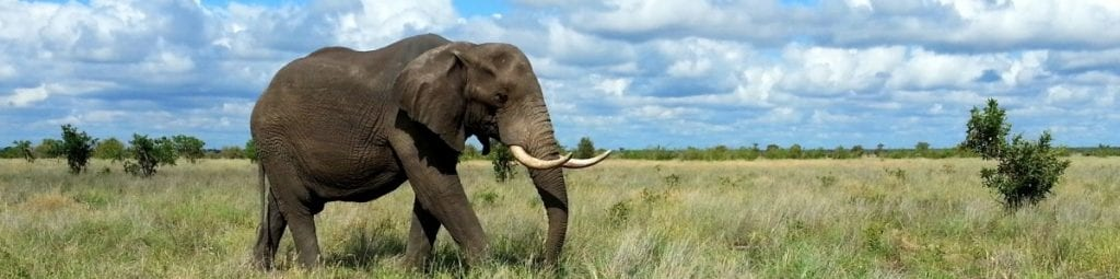 Panoramic shot of a lone African elephant walking in the African savanna