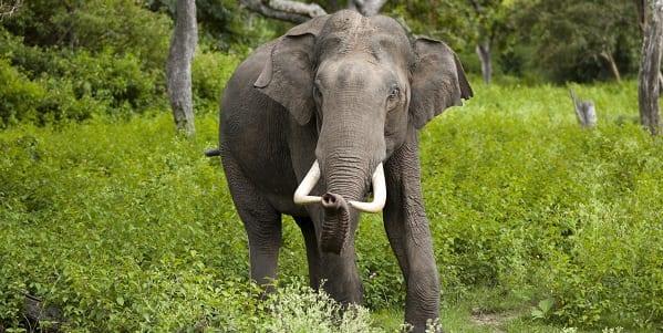 Lone Indian elephant stood amongst the lush greenery of an asian rainforest
